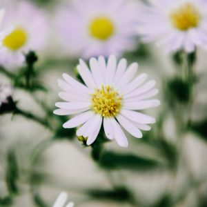 Essential Oils Care - Chamomile Oil