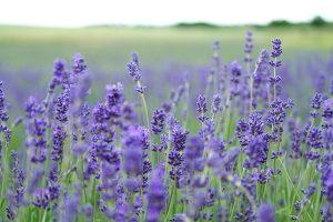 ssential Oils Care - Lavender Oil