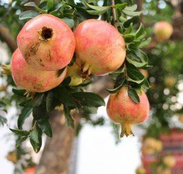 Pomegranate Seed Oil Skin Care