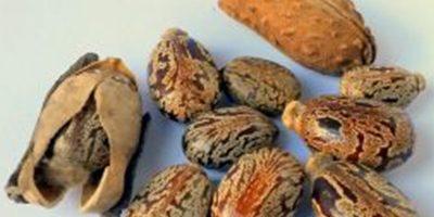 Castor beans from Castor plant