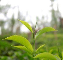 Tea Tree Oil Skin Care