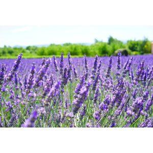 lavender oil hair care