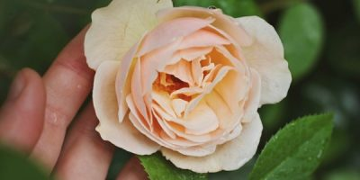 Essential Oils Care - Rose Oil Ingestion