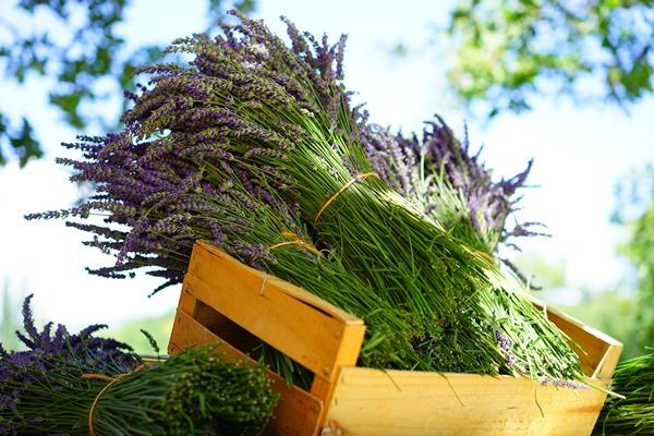 Essential Oils Care - Lavender Oil Aromatherapy 2