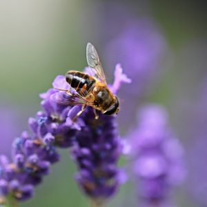 Essential Oils Care - Lavender Oil Ingestion