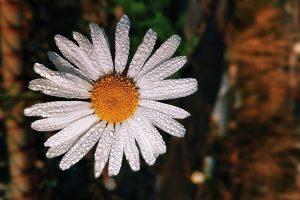Essential Oils Care - Chamomile Oil Aromatherapy