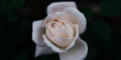 Holistic Personal Care with Rose Essential Oil