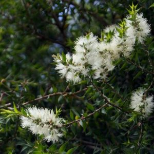 Tea tree with blossoms