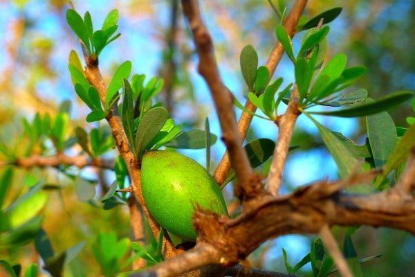 Unripe argan fruit on an argan tree branch