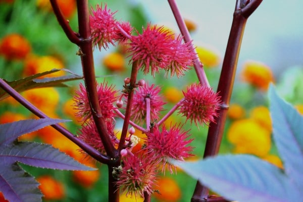 Ripe castor fruits on a branch