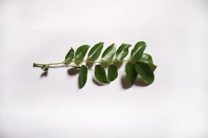 Curry leaves on white background