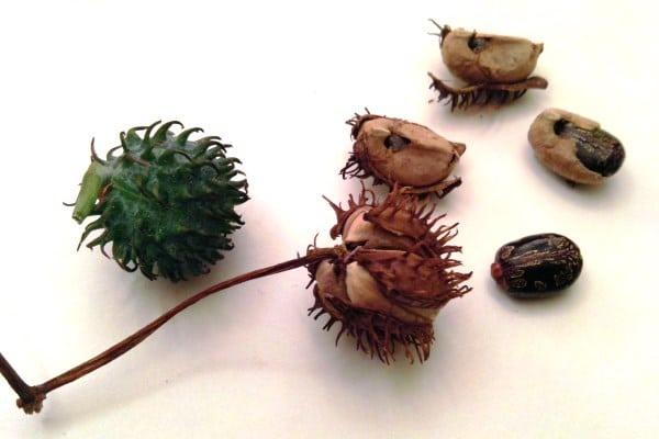 Castor pods and seeds
