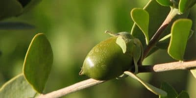 Jojoba fruit on a branch